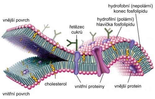 Archea bakterie eukaryota – buněčné životní formy